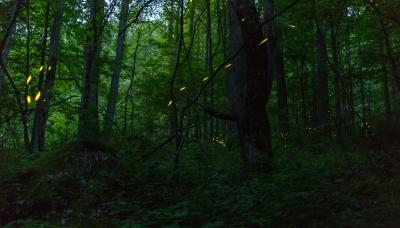 Fireflies-5