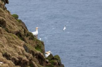 FAE_Mykines gannets-4