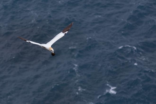 FAE_Mykines gannets-5