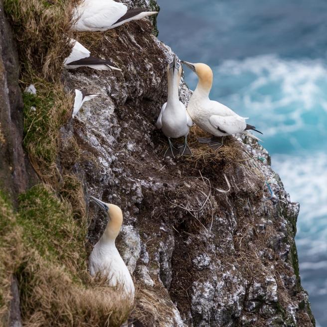 FAE_Mykines gannets-6