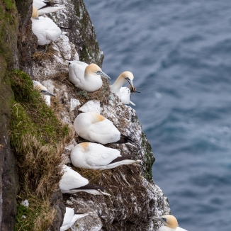 FAE_Mykines gannets-7
