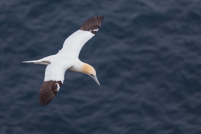 FAE_Mykines gannets-8